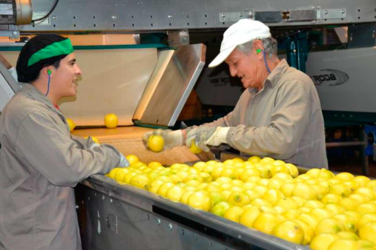 El abastecimiento de limones está garantizado